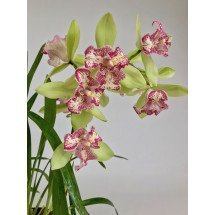 Cymbidium Green Valley Emerald