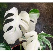 Monstera deliciosa Variegata (special white edition )
