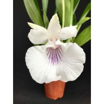 "Cochleanthes amazonica ""Big"""