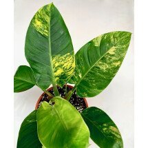 """Philodendron Imperial Green """"Variegata''"""