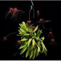 """Bulbophyllum gracillimum """"Big XXL"""""""