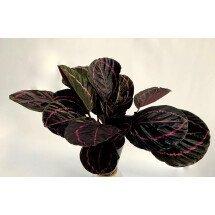 "Calathea roseopicta ""Dottie"" ""Big Plant"""