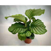 "Calathea Orbifollia ""Big Plant"""