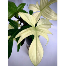 "Philodendron ""Florida Ghost"" (Very Limited Available) Big Plant"