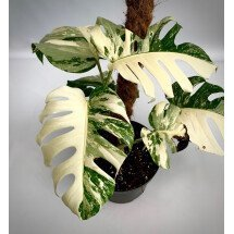 Monstera deliciosa Variegata  (special edition white)