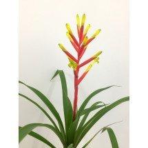 """Guzmania dissitiflora """"Big Plant Clumb"""""""