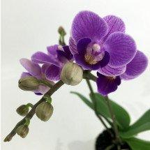 """Doritaenopsis Sogo Vivien """"Special Blue Big"""""""