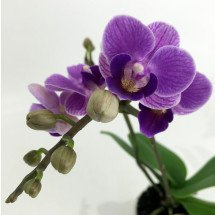 "Doritaenopsis Sogo Vivien ""Special Blue''  ""Big Plant"""