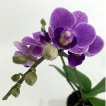 "Doritaenopsis Sogo Vivien ""Special Blue''"
