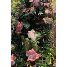 """Caladium hortulanum """"Thai Beauty"""""""