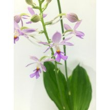"Calanthe triplicata ""Light Blue"""