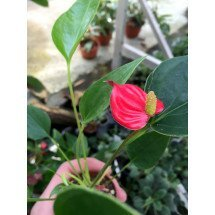 Anthurium Mini Red Compact