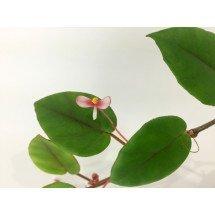 "Begonia elaeagnifolia ""Big"""