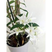 """Dendrobium moniforme """"Big"""""""