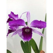 Laelia purpurata var. striata (Taiwan)