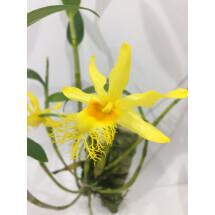 """Dendrobium brymerianum """"Big Plant"""""""