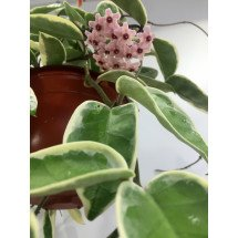 "Hoya carnosa ""Tricolor Krimson Queen outter variegated"""