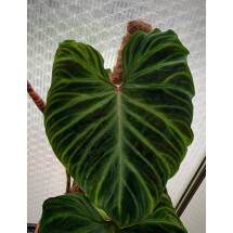Philodendron verrucosum ''XXL 1 Big Plant have (Big leaves)''