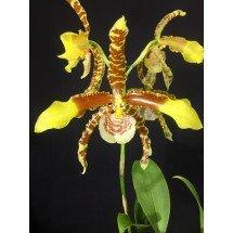 Odontoglossum grande 'Big Plant'