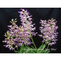"Dendrobium Jairak Spin ""Blue"" Big"