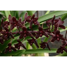 Cymbidium Little Black Sambo 'Black Magic'