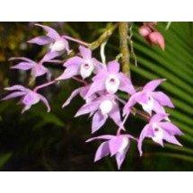 "Dendrobium hercoglossum ""XXL Big Plant"""