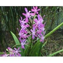 "Neofinetia falcata x Rhy. coelestis ""Pink'"""