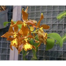 Odontoglossum splendens