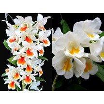 Dendrobium Rungkamol x Dendrobium formosum