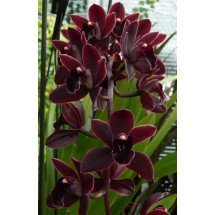 "Cymbidium Cali Night ""Geyserland"""