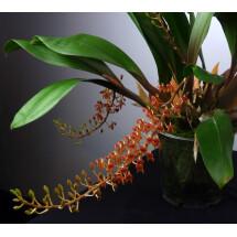 Liparis latifolia