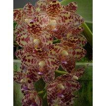 Phalaenopsis gigantea  XXL Big Plant