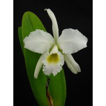 "Cattleya perciviliana ""Christmas Cheer"""