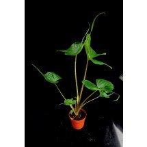 """Alocasia macrorrhiza """"Stingray"""" """"Big Plant"""""""