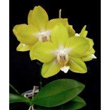 """Phalaenopsis Dragon's Gold """"24K"""" (P. Taipei Gold x P. amboinensis)"""