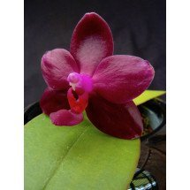 "Phalaenopsis Cat's Paw Firebird ""Montclair"" HCC/AOS"
