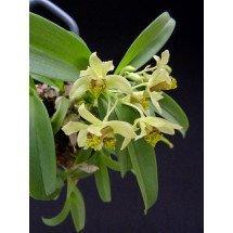 Dendrobium delacourii ''Big''