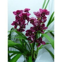 "Cymbidium Harriet Ishitani x Cymbidium Lady Fire ""Red Angelica"""