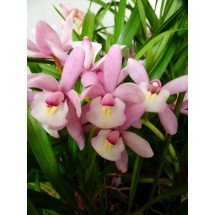 Cymbidium Hiroshima Sweet Eyes `Pink Temptation`