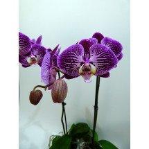 Phalaenopsis Anastasia ` Purple Blaze`