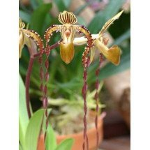 Paphiopedilum Angel Hair (P.St.Swithin x P.sanderianum)