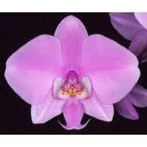 Phalaenopsis schilleriana 'Big'