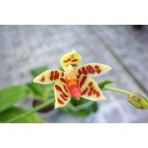 Phalaenopsis maculata