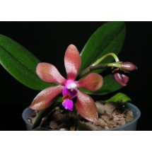Phalaenopsis stobartiana x bastianii