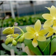 Phalaenopsis Stone Dance