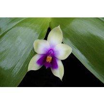 "Phalaenopsis bellina ""Ponkan"" ""Big"""