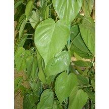 Philodendron scandens (1+1 gratis, zolang de voorraad strekt)