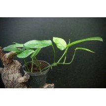 "Philodendron species ""Peru"""