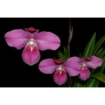 Phragmipedium Eumelia Arias