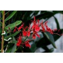 Renanthera philippinensis